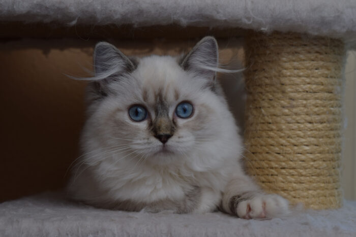 Seal Lynx Point Mitted female Ragdoll